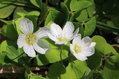 Wood sorrel in flower. Close up view of wood sorrel Oxalis acetosella in flower with a background of leaves in a spring woodland royalty free stock photos