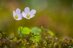 Wood sorrel flowers Royalty Free Stock Photos