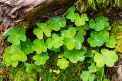 Wood sorrel in forest Royalty Free Stock Image