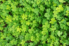 Wood sorrel on the forest floor. Wood sorrel on the ground in the forest Royalty Free Stock Photography