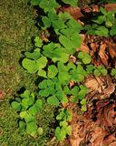 Wood sorrel, green plants. Wild plants growing in forests. Wood sorrel Royalty Free Stock Photos