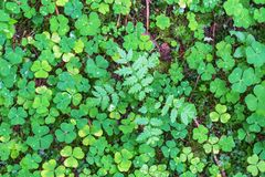 Wood sorrel on the ground in the forest Stock Image