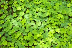 Wood sorrel on the ground in the forest. Background wallpaper of Wood sorrel on the ground in the forest spread like a green carpet Stock Image