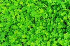Wood sorrel on the forest floor. Wood sorrel on the ground in the forest Stock Images