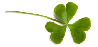 Wood sorrel. Leaf isolated on white Royalty Free Stock Images