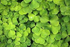 Wood Sorrel Royalty Free Stock Image