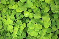 Wood Sorrel. Leaves of common wood sorrel (Oxalis acetosella royalty free stock image