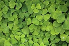 Wood Sorrel Stock Photography