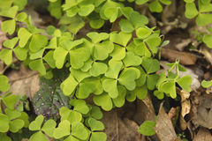 Wood sorrel leaves. Green common wood sorrel leaves Stock Images