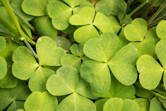 Wood sorrel leaves in a Nordic forest. Close-up shot of green Wood sorrel leaves in a Nordic forest royalty free stock photography