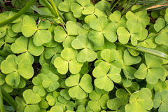 Wood sorrel leaves in a Nordic forest. Dense layer of green Wood sorrel leaves growing in a Nordic forest royalty free stock image
