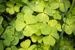 Wood sorrel leaves with water droplets in a Nordic forest. Dense layer of green Wood sorrel leaves with water droplets in a Nordic forest stock image