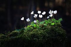 Wood sorrel on mossy tree trunk Oxalis acetosella. Xalis acetosella wood sorrel or common wood sorrel is a rhizomatous flowering plant in the family Oxalidaceae Stock Photo