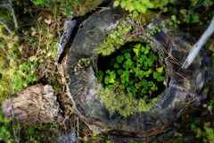 Wood sorrel oasis. Wood sorrel in a rotten tree stump, orton effect and vignette royalty free stock images
