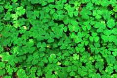 Wood-sorrel (Oxalis acetosella) background Stock Images