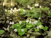 Wood sorrel, Oxalis acetosella, blooming stock photo