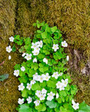 Wood sorrel. Oxalis acetosella in forest at springtime Stock Image
