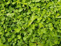 Wood sorrel or Oxalis acetosella L. Royalty Free Stock Photo