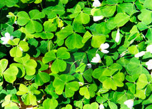 Wood Sorrel. Oxalis acetosella, Oxalidaceae. Irish Wild flowers royalty free stock image