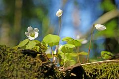 Wood Sorrel - Oxalis acetosella. Growing on stump in spring sunny forest stock photos