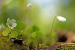 Wood Sorrel - Oxalis acetosella. Growing on stump in spring sunny forest stock image