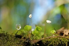 Wood Sorrel - Oxalis acetosella. Growing on stump in spring sunny forest stock photo