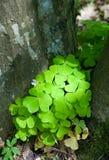 Wood-sorrel plant closeup. Against hornbeam bark background, in sun Stock Photos