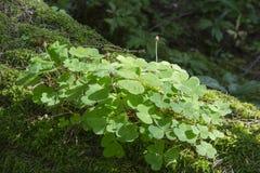 Wood-sorrel plant closeup. Against defocused mossy background Stock Photo