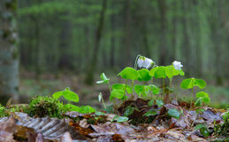 Wood-sorrel plant closeup. Against fuzzy forest stand background Stock Image