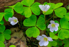 Wood-sorrel plant closeup. Against fuzzy forest stand background, Bialowieza Forest, Poland, Europe Stock Photos