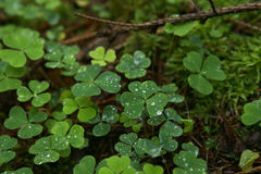 Wood sorrel with raindrops on green moss in forest. Stock Photography