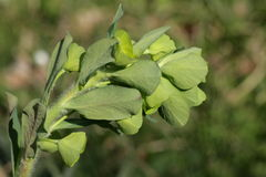Wood Spurge Stock Photography