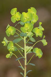 Wood Spurge Royalty Free Stock Photo