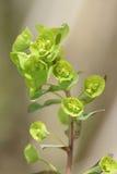 Wood Spurge. Euphorbia amygdaloides Stock Images