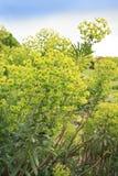 Wood Spurge - Euphorbia amygdaloides Two flower spikes Royalty Free Stock Photos