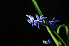 Wood squill Stock Images