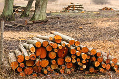 Wood stack in a Forest after the woodcutter work Stock Photo