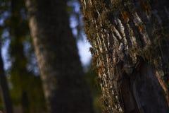 Wood stam av ett träd, nightscape Arkivbilder