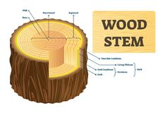 Free Wood Stem Vector Illustration. Educational Labeled Tree Rings Structure. Royalty Free Stock Image - 141168816