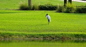 Wood Stork. Photograph of a Wood Stork sitting on a Golf Course Fairway Stock Images