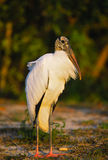 Wood Stork. A wood stork stands near a pond in florida Stock Image