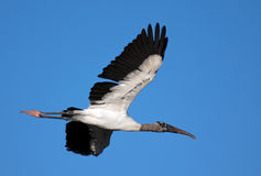 Wood Stork. In flight over the Florida Everglades stock image