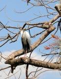 Wood stork Stock Image