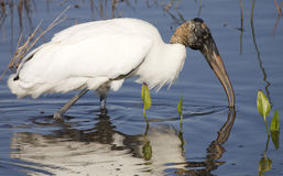 Free Wood Stork Stock Images - 14272804