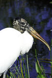 Wood Stork Stock Photo