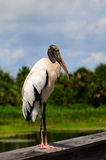 Wood Stork Stock Photo