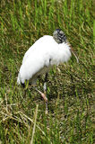 Wood Stork Royalty Free Stock Photo