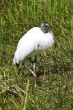 Wood Stork Royalty Free Stock Photo