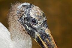 Wood stork Royalty Free Stock Image