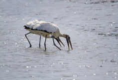 Wood stork. (Mycteria americana), foragigng birds stand or walk with open bill in water Stock Photography